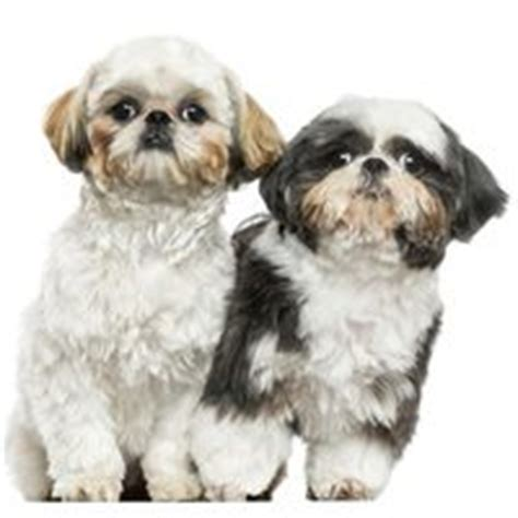 shih tzu common health problems shih tzu dogs health problems ehow