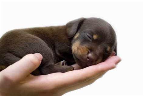 tiny puppy puppies images so tiny wallpaper and background photos 15834876