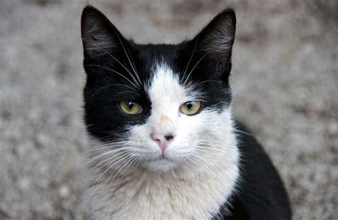 white black cat i gatti di venezia ricordando piccinin zoelagatta