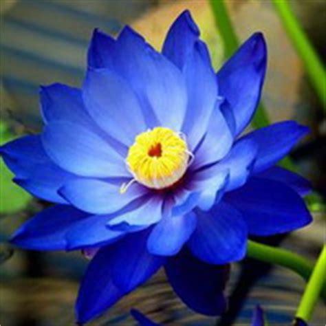 Safira Flower 荷花头像 荷花qq头像图片 莲花扣扣空间微信头像大全