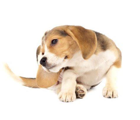 how to keep ticks dogs how to keep fleas and ticks your beagle grooming tutorial