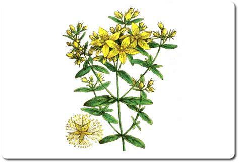 iperico fiore iperico sommit 224 fiorite