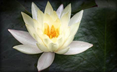 white lotus buddhism