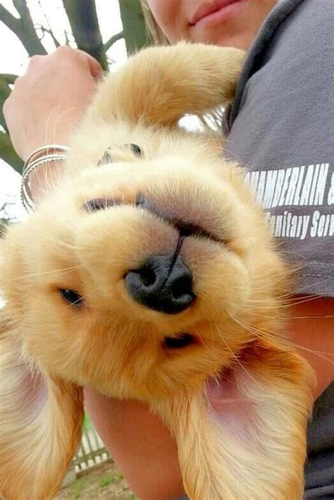 how to take care of golden retriever 25 best ideas about golden retriever puppies on