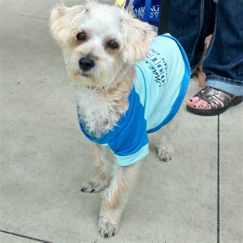 yorkie poodle mix yorkie poodle mix adopt save a