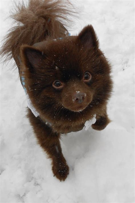 light brown pomeranian pin and brown pomeranian puppy chocolate on