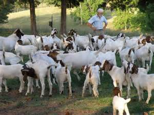 breeding goats southern virginia meat goat association