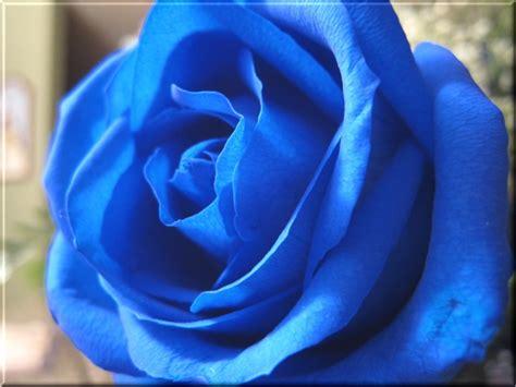 wallpaper mawar biru kumpulan gambar bunga mawar biru gambar foto wallpaper