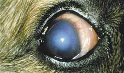 uveitis in dogs greyhound knowledge forum