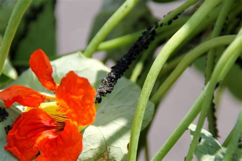 Plants That Repel Aphids | plants that naturally repel aphids controlling aphids