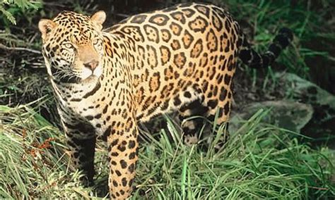 what do jaguars eat in the tropical rainforest jaguar big cat facts information pictures