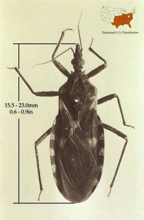 bed bug transmission chagas disease causes wikidoc