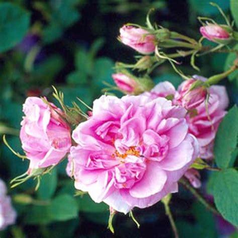 rosa damascena trigintipetala ludwigs roses