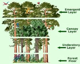 Plants In The Emergent Layer Of The Tropical Rainforest - strata and diagram abitaboutrainforests weebly com