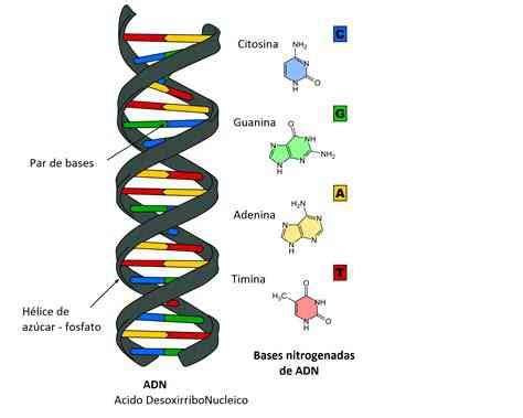 son cadenas de adn partes del adn