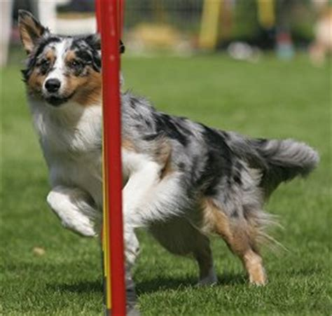 easy to house train dog breeds training australian shepherds the sensible way