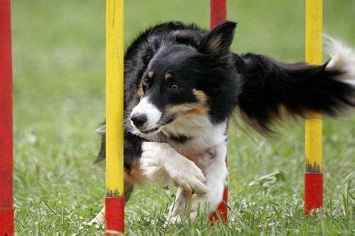 how to get a trained as a therapy 25 best ideas about agility on agility agility