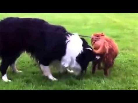 animal big dogs mating big mating for the time with small 2016