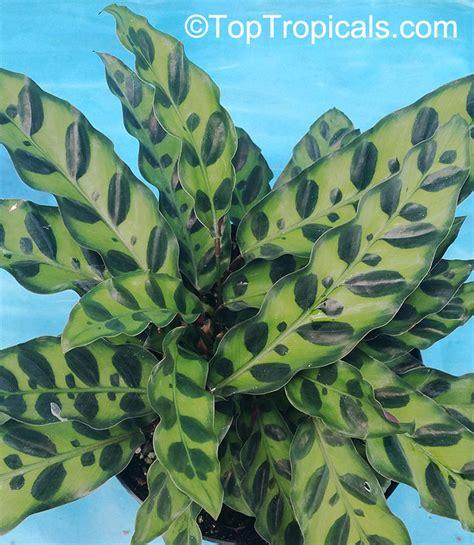 Calathea Lancifolia Insignis Rattlesnake Plant calathea lancifolia calathea insignis rattlesnake plant toptropicals