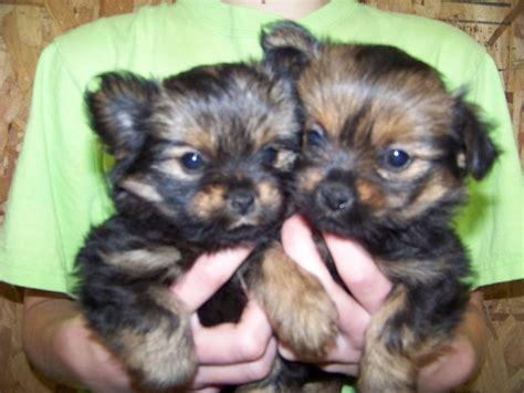 my next puppy my next puppy a porkie