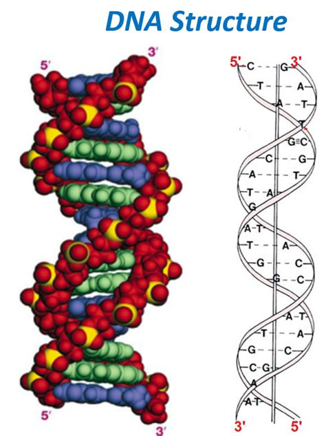 section 10 2 review dna structure dna structure simplified biology