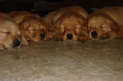 golden retriever breeders in bc golden retriever puppies