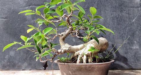 Come Curare Un Bonsai by Come Curare Un Bonsai Di Ficus Ginseng Fare Bonsai