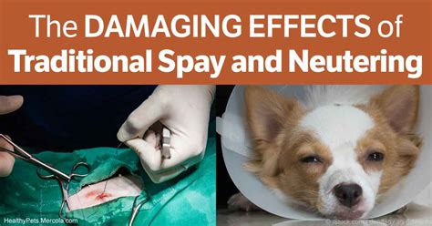 neutering dogs the damaging effects of spaying and neutering on dogs