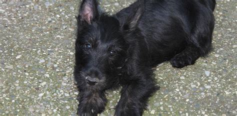 brister family terriers pin scottie dog color page on pinterest