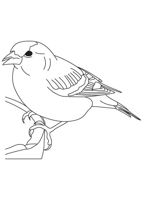 zebra finch coloring page how to draw house finch