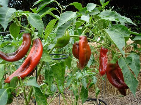 can you juice hot peppers growing peppers bonnie plants