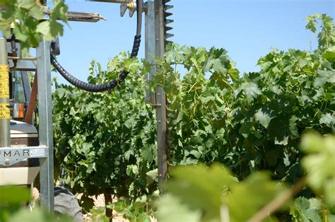 green pruning grape vines summer jobs for winegrowers
