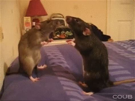 format gif download rats gif find share on giphy