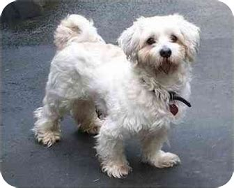 havanese rescue seattle lenny and adopted seattle c o kingston 98346 washington state wa