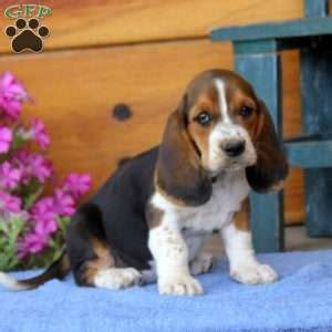 basset hound puppies pa basset hound puppies for sale greenfield puppies