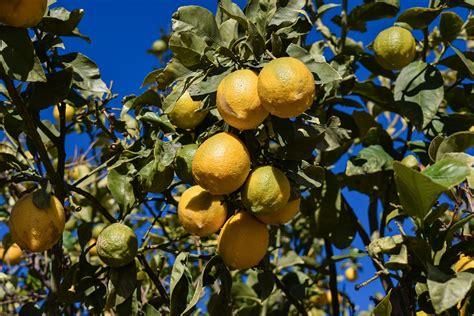 pianta limone in vaso cura come coltivare il limone in vaso giardini nel mondo