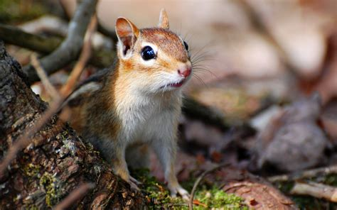A Chipmunk - chipmunks wallpapers animals wiki pictures