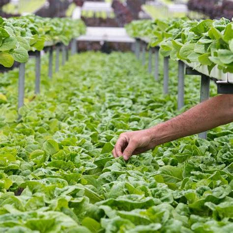 hydroponic root vegetables our produce australian grown fresh food hydro produce