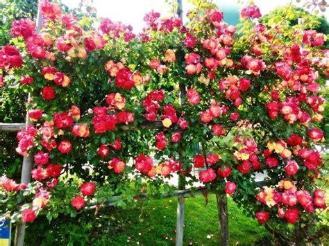 siepi fiorite da giardino siepe fiorita siepi come coltivare una siepe fiorita