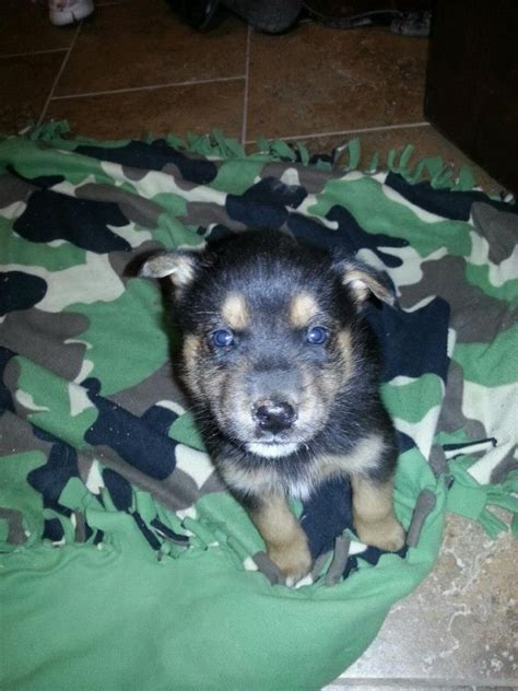 rottweiler husky puppies rottweiler husky mix rottsky more breeds picture