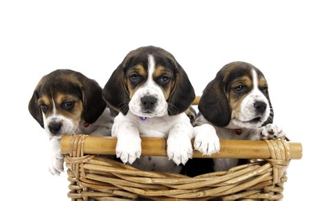 cost of beagle puppies how much do beagle puppies cost