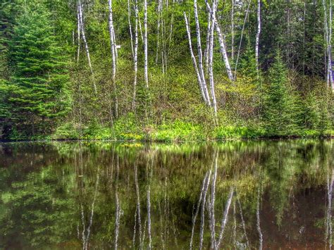 spring birch trees  michigans upper peninsula spring