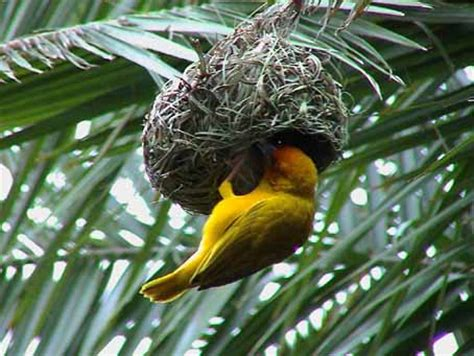 why does the weaverbird build such a nice nest