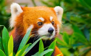 Red panda escaped the zoo took an 8 month solo trip travel