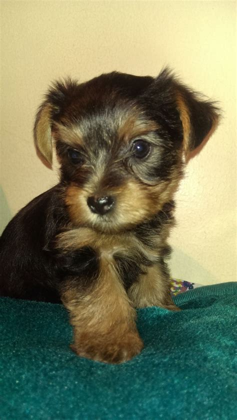 miniture yorkie puppies miniature terrier for sale dogs puppies for sale with breeds picture
