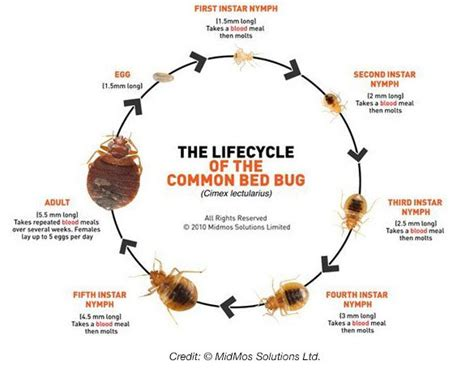 how long does it take for bed bugs to infest all about the bed bug life cycle
