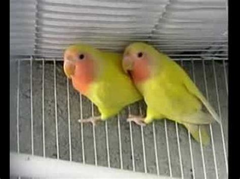 Pakan Lolohan Lb farm of lovebirds and parakeets wfr 111 06 05