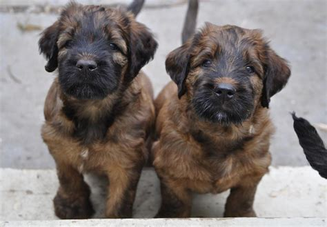 briard puppies for sale briard puppies www imgkid the image kid has it