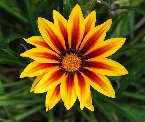 imagenes abstractas de flores fotos de flores variedad de flores de la gazania
