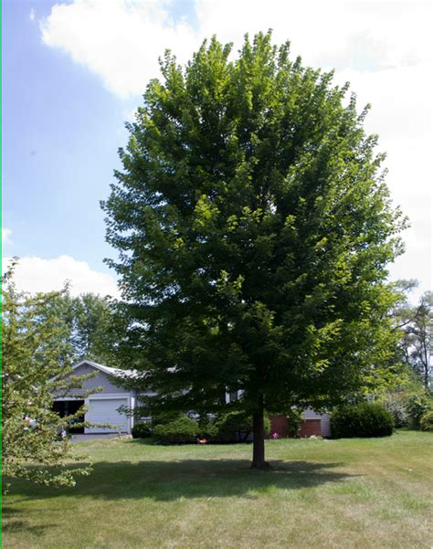 where to buy a tree what size shade tree to buy to get the largest tree